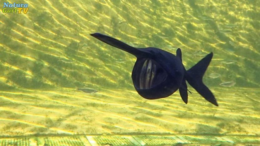 Außergewöhnlich Neue Störe im Aquarium | NaturaGart Aktuell &LW_01